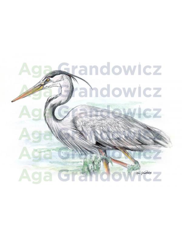 Great blue heron #2 – original artwork by Aga Grandowicz –close-up.