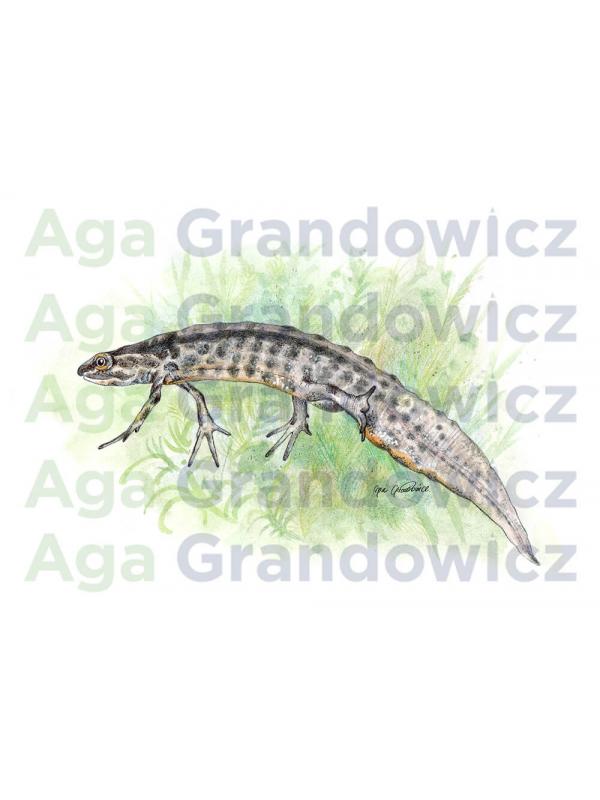 Newt – original artwork by Aga Grandowicz –close-up.