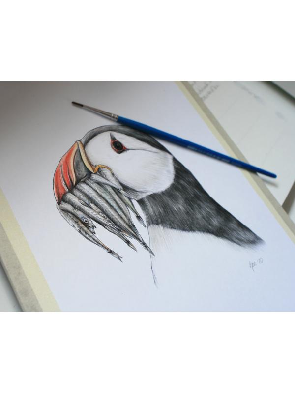 Atlantic puffin, wildlife illustration by Aga Grandowicz.