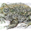 Natterjack toad –original artwork by Aga Grandowicz –close-up