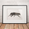 Wallace's Giant Bee – an original drawing by Aga Grandowicz