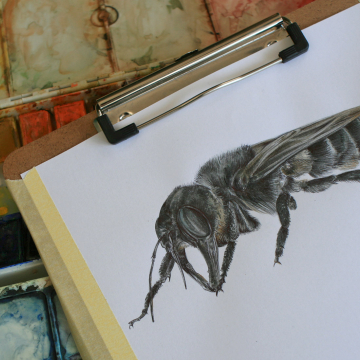 Wallace's Giant Bee – an original drawing by Aga Grandowicz