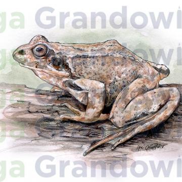 Common frog – original artwork by Aga Grandowicz – close-up.