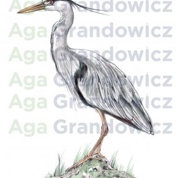 Great blue heron #1 – original artwork by Aga Grandowicz –close-up.