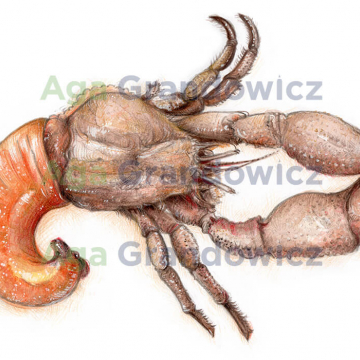 Hermit crab –original artwork by Aga Grandowicz – close-up