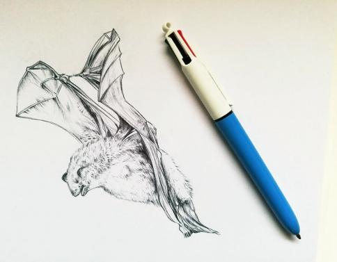 Daubenton's bat – drawing by Aga Grandowicz