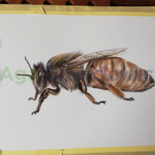 qeen-bee2-colour_by_aga-grandowicz.jpg