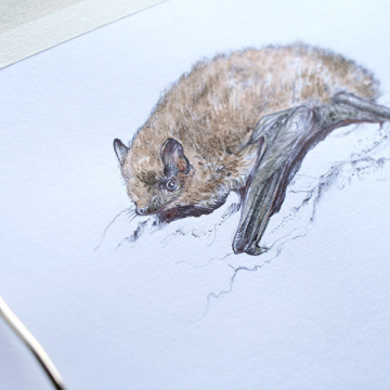 Soprano Pipistrelle bat – drawing by Aga Grandowicz, photo 2