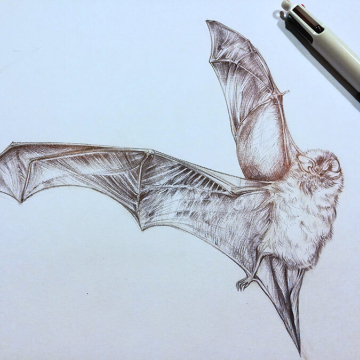 Nathius pipistrelle bat – drawing by Aga Grandowicz
