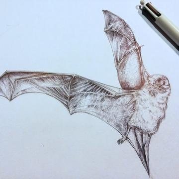 Nathius pipistrelle bat – drawing by Aga Grandowicz