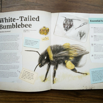 Bumblebee spread from Dr Hibernica Finch's Compelling Compendium of Irish Animals