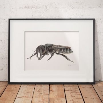 Wallace's Giant Bee – an original drawing